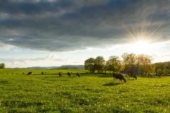Kühe in Büenfeld 3