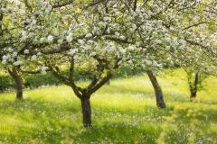 Apfelblüte in Mülsborn 2