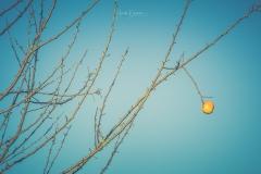 Der letzte Apfel am Apfelbaum
