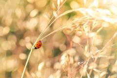 Marienkäfer auf Grashalmen