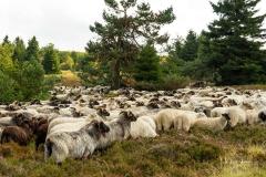 Heidschnucken in der Niedersfelder Hochheide