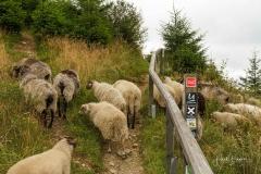 Heidschnucken in der Niedersfelder Hochheide am Rothaarsteig