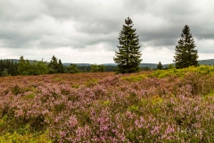 Blühende Niedersfelder Heide