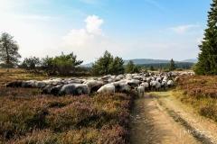 Heidschnuckenherde in der Niedersfelder Hochheide