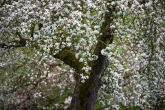 Apfelblüte in Obringhausen 3
