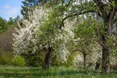 Apfelblüte in Obringhausen 1
