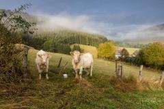 Kühe im Morgendunst