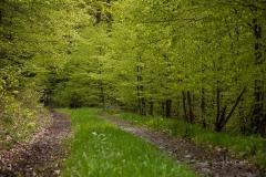 Maigrüner Buchenwald 3
