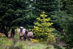 Schafe in Weihnachtsbaumkultur