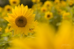 1_Sonnenblumenfeld-01
