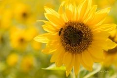 1_Sonnenblumenfeld-02