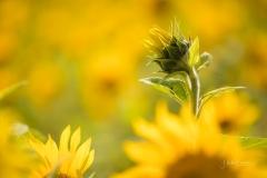1_Sonnenblumenfeld-05