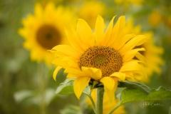 1_Sonnenblumenfeld-06