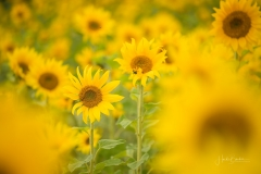 1_Sonnenblumenfeld-09