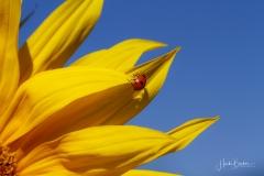 Sonnenblume mit Insekt-1