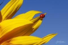 Sonnenblume mit Insekt-2