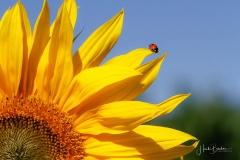 Sonnenblume mit Insekt-3