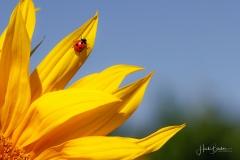 Sonnenblume mit Insekt-4
