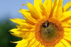Sonnenblume mit Insekt-6