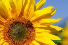 Sonnenblume mit Insekt-7