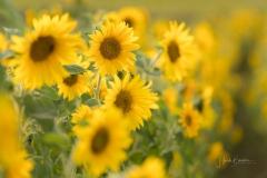 Sonnenblumen-2