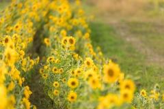 Sonnenblumen-3