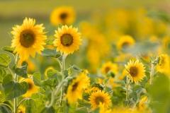 Sonnenblumen-5