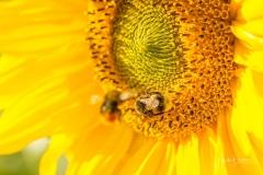 Sonnenblume 6