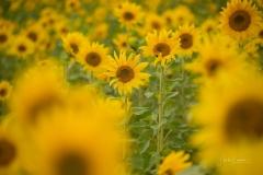 Sonnenblumenfeld-07