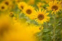 Sonnenblumenfeld-08