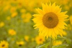 Sonnenblumenfeld-10