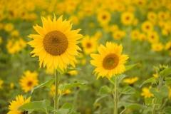 Sonnenblumenfeld-11