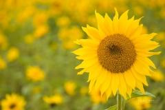 Sonnenblumenfeld-12