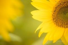 Sonnenblumenfeld-13