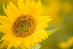 Sonnenblumenfeld-14