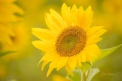 Sonnenblumenfeld-15