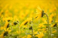 Sonnenblumenfeld-16