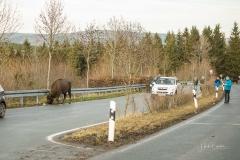 Wisente-im-Strassenverkehr-04