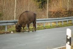 Wisente-im-Strassenverkehr-05