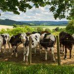 """Naturfenster """"Rinder in Holthausen"""""""