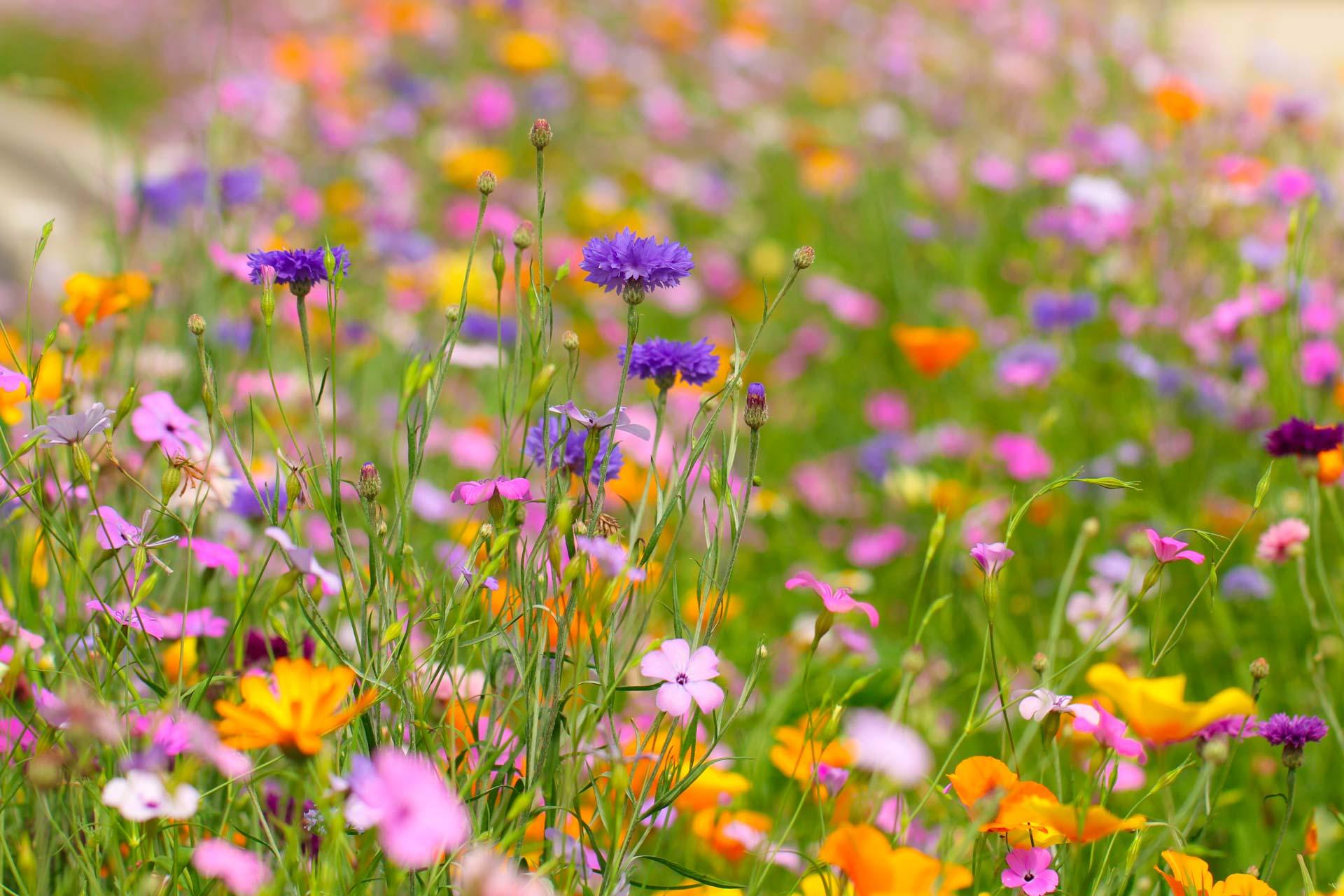 картинки для аватарки полевые цветы хотя