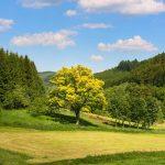 Goldeiche im Rüsselsbachtal
